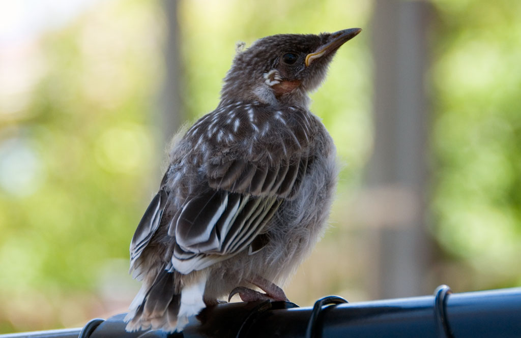 all-those-shapes_-_baby-wattle-bird_01